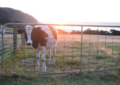 sunshine cow